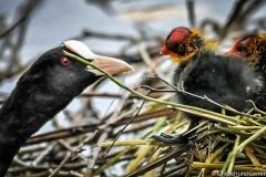Coots Nest