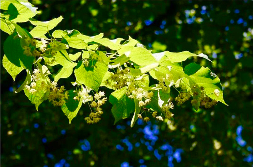 Lime trees in flower